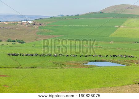Cattle dairy animals farming scenic rural landscape