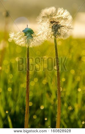 dense fog in the morning.  early morning. on a green lawn in the early foggy morning . dandelion.