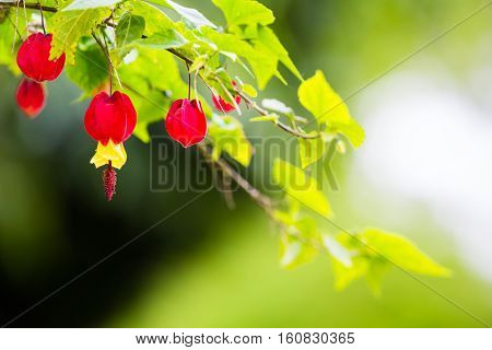 Abutilon megapotamicum. beautiful branch on green background