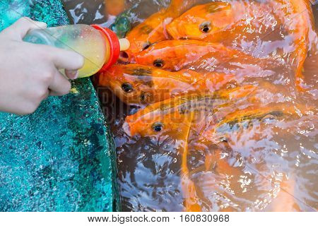 Koi feeding with bottle feeding in Dalat. Vietnam.