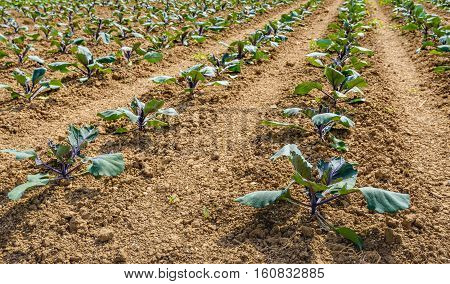 Rows of growing young red cabbage plants in a Dutch field of crumbled clay soil on a sunny day in the end of the spring season.