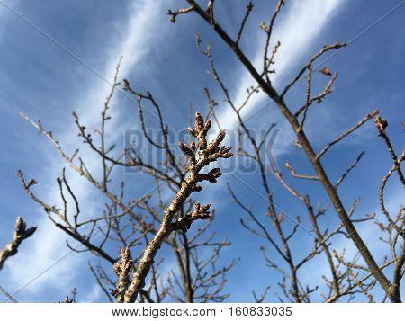 The buds of roadside cherry tree in winter