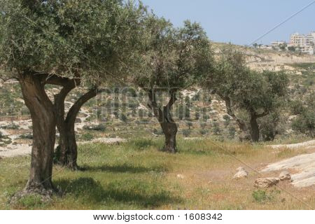 Three Olive Trees In A Row