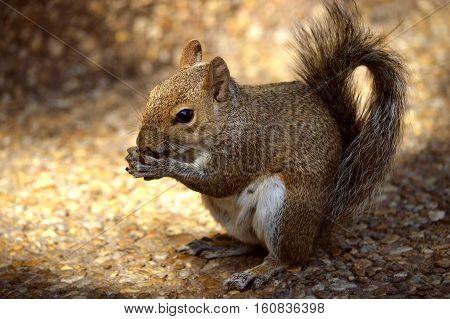 A Grey squirrel Latin name Sciurus carolinensis