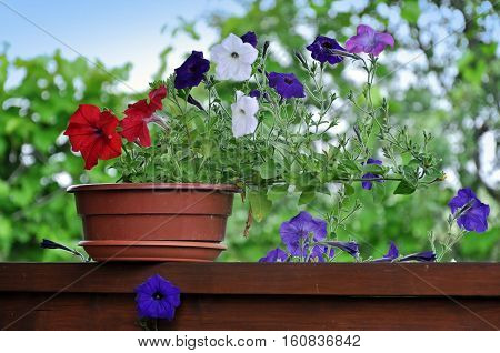 Clay pot with purple red and white petunias on a wooden surface against a background of green garden.