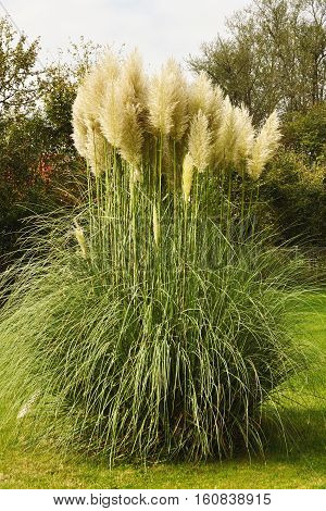 Pampas grass plant (cortaderia selloana) growing in a garden