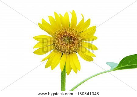 Close up Sunflower isolated on white background.stock photo.
