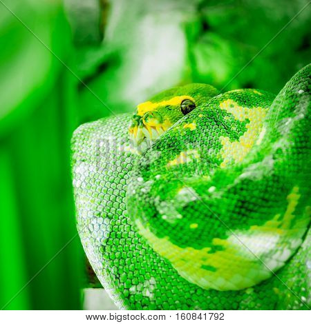 Green yellow python snake coiled up wrapped up looking making eye contact square