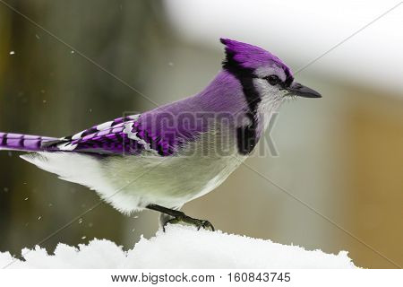 Mythical Purple jay standing in white, fluffy snow.
