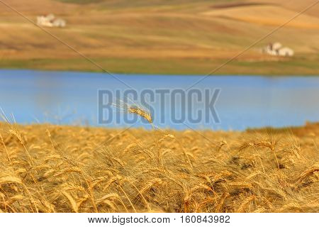 RURAL LANDSCAPE SUMMER.Between Apulia and Basilicata:wheat fields harvested. Lake Basentello (Poggiorsini) -ITALY-Solitary wheat ear on blue background.