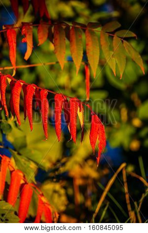 Green and red Sumac leaves in October.