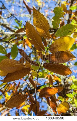 chestnut leaves on high sun background in autumn