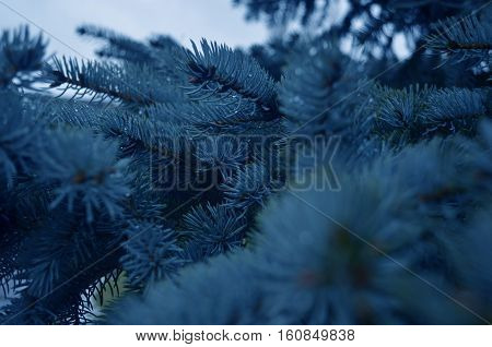 Blue Christmas tree with sharp prickles on a rainy day