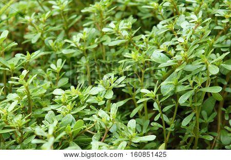Common purslane (Portulaca oleracea) also known as verdolaga or pigweed as green background