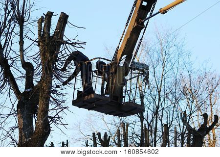 workers cut branches and trims a trees limes using the lift in the park