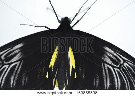 tropical wings black butterfly  closeup, Birdwing butterfly