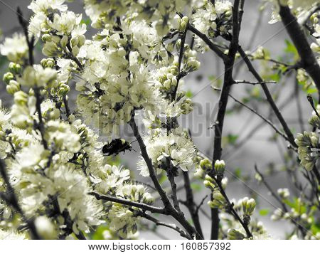 Bumblebee pollinating plum blossoms on a warm spring day