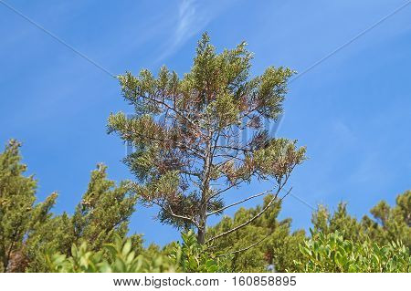 Maritime Pine on Blue Sky . Detail of maritime pine with trunk and green needles on blue sky