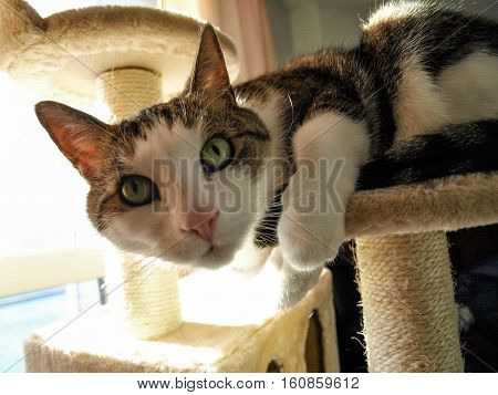 playful cute cat peering at camera perched on cat tree