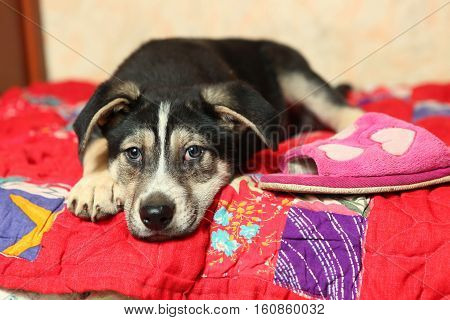 cute shepherd puppy on the bed with slipper