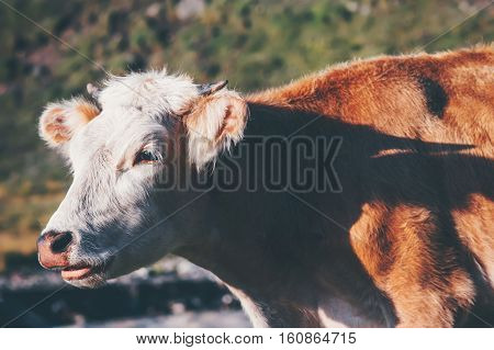 Cow Farm Animal at alpine green valley summer pasture