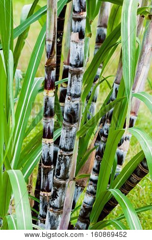 Sugar cane plant closeup tropical climate plantation agricultural crop organic raw growth vertical