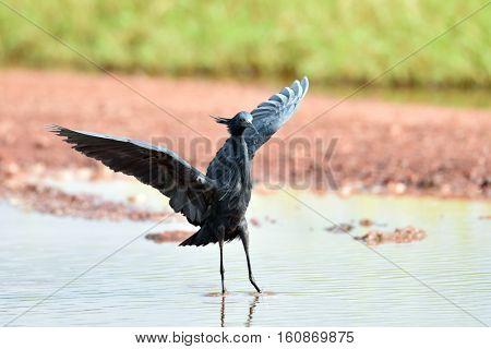 Black Heron (Egretta ardesiaca) in natural habitat