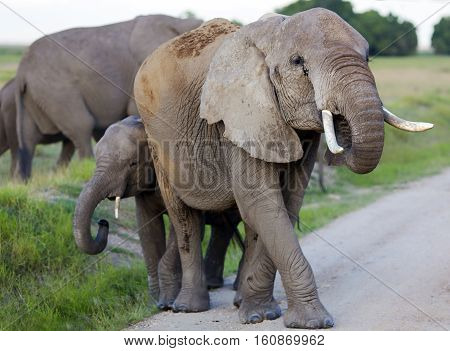Herd of elephants crossing the road and mother protects her baby elephant in Tarangire National Park, Tanzania.