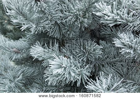 Pine tree branches with cone covered with snowr winter background