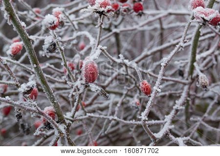 Red briar berry in snow nature winter background