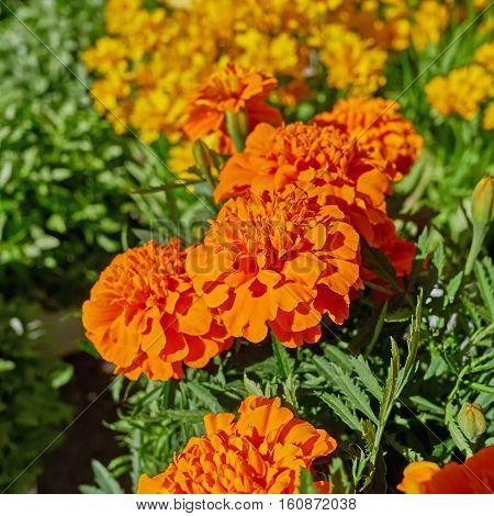 orange marigold flowers in the garden strong bokeh