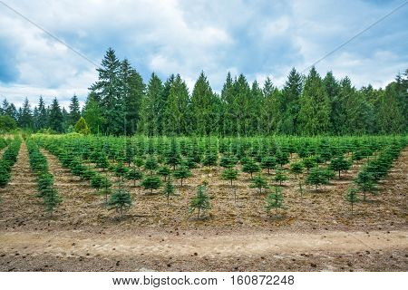 Planting stock of pine trees at the road