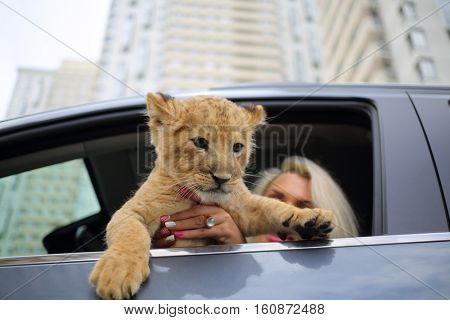 Blonde holds lion cub and sits on driver place in car, focus on animal