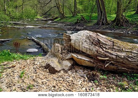 Thick tree felled by the beaver, lies on the banks of the river