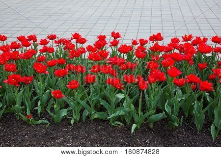 Fragment of a Flower Bed with Growing Double Petal Red Tulips. Decoration landscaping in the Outdoor City Park Garden. Spring Horizontal Picture with selective focus