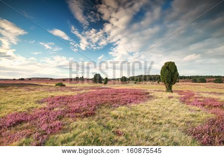meadow with flowering heather and blue sky in summer