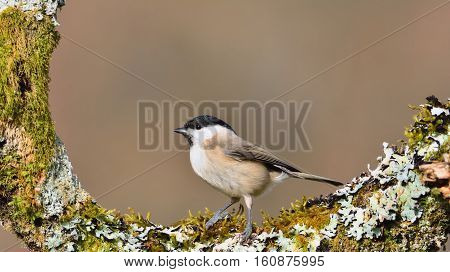 Marsh Tit Perched On A Branch