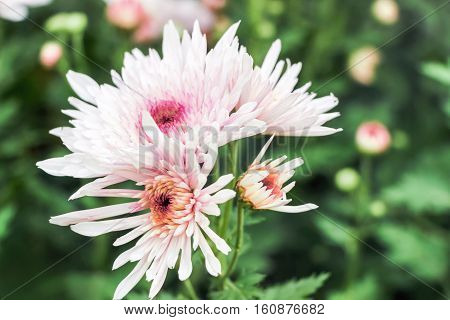blooming pink chrysanthemum flowers with green leaves