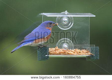 Eastern Bluebird (Sialia sialis) on a window feeder
