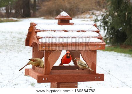 Northern Cardinal (Cardinalis) and House Finch (Haemorhous mexicanus) on a feeder in snow