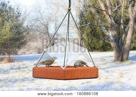 House Finch (Haemorhous mexicanus) and Tufted Titmouse (Baeolophus bicolor) on a feeder with snow