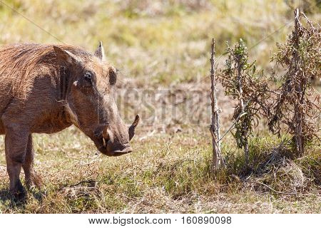 Warthog Standing At The Bushes