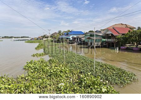 Large ammounts of water hyacinths also called eichhornia crassipes on the banks od the Chao Phraya River near a village in Ayutthaya Thailand