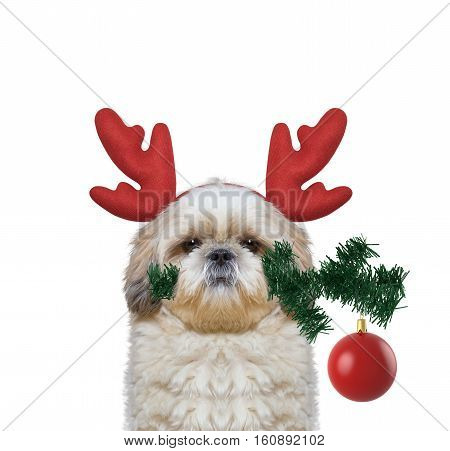 Cute santa dog in reindeer antlers with fir-tree and xmas ball -- isolated on white
