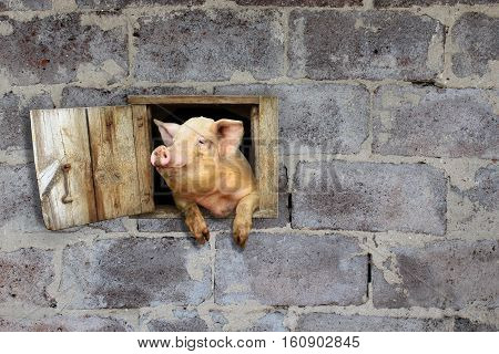 joy pig looks out from window of shed on the stony wall