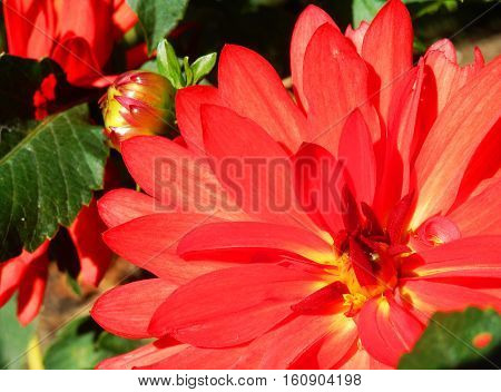 Beautiful bright red giant dahlia in full bloom full frame closeup  in sunshine focus on petals nature background, card with room for copy