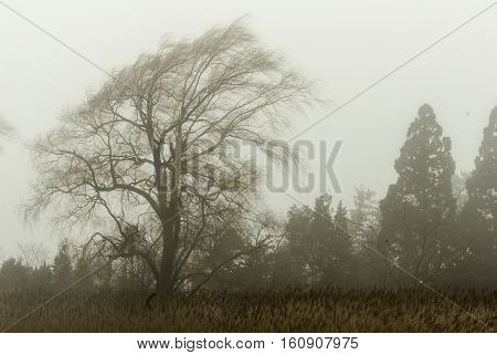 Weeping willow blowing in wind on foggy winter afternoon