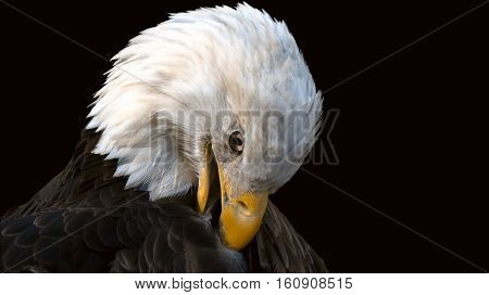 American Bald Eagle preening in the portrait