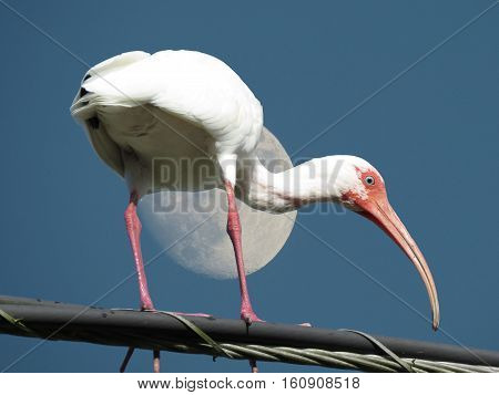 White Ibis mooning in front of the moon