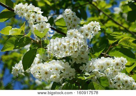 White bird cherry flowers in sunny day